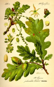 Oak Botanical image courtesy of upload.wikimedia.org